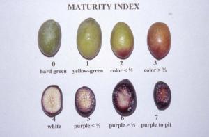 Olive maturity index