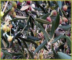 late harvest olive
